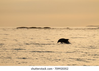 Bottlenose Dolphins playing in the Surf off the Coast of the Isle of Staffa at sunset