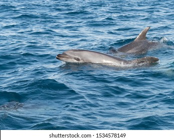 Bottlenose Dolphins in The Straits of Gibraltar