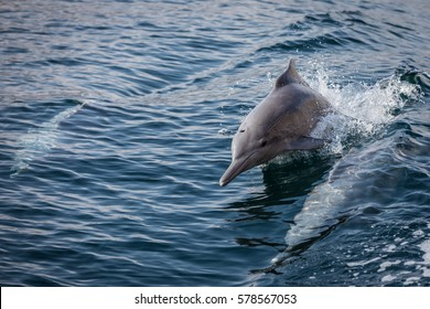 Bottlenose dolphins swim with a boat in the fjords of Oman at Khasab