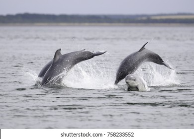 bottlenose dolphins (Tursiops truncatus) wild and free seen from shore at Chanonry point in Scotland