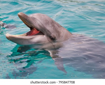 Bottle-nosed dolphin with open mouth