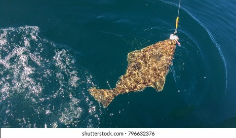 A bottom feeding Alaskan halibut has been pulled to the surface by a sport fisher.