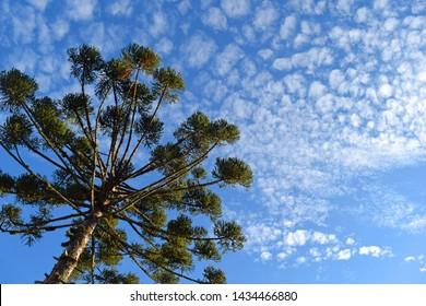Bottom View of Beautiful Araucaria (Parana Pine Tree) and Blue Sky (Curitiba, Parana, Brazil) (South Brazil)