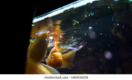Bottom view of beautiful golden fishes in aquarium swimming and eating. Frame. Feeding time for goldfishes in the aquarium, nature concept.
