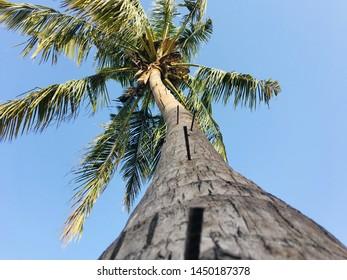 bottom view of cocnut tree