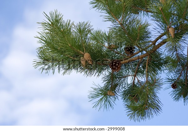 Bottom view of a fir branch and several cones