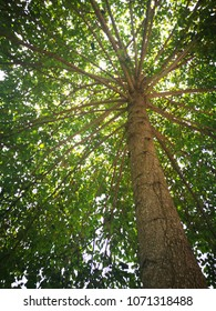 Bottom view of Giant tree (Wild cinchona) at National Park, Thailand.tropical tree for wood ferniture industry.