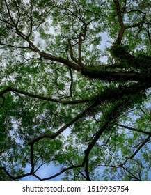 Bottom view of green tree and branches with bright blue sky and white cloud. Bottom view background of tree with green leaves. Tall tree. Natural oxygen source. Good environment. Fresh air.