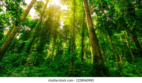 Bottom view of green tree in tropical forest with sunshine. Bottom view background of tree with green leaves and sun light in the the day. Tall tree in woods. Jungle in Thailand. Asian tropical forest