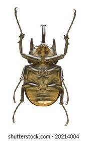 Bottom view of a large Rhinoceros Beetle (Megasoma actaeon) from the Dynastidae family originating from Peru