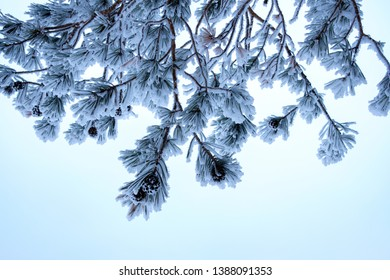 bottom view of pine branches with cones pine needles covered with frost severe frost, blue sky
