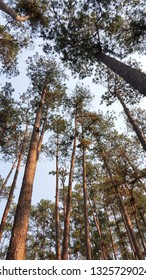 Bottom view of pine forest with evening light and clear sky.
