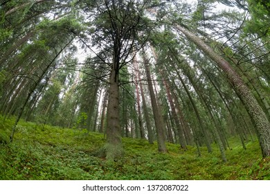 Bottom view of pines growing on a hill