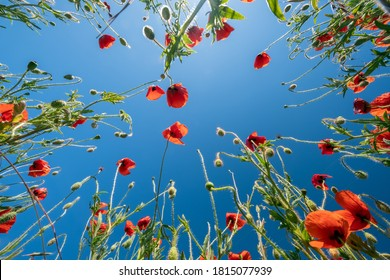 Bottom view of the red poppies and blue sky. Summer poppy field