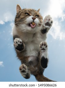bottom view of a tabby white british shorthair cat standing on glass outdoors in front of sky in the background eating dry food treats. it looks like the cat is flying or jumping