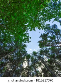 Bottom view of tall old trees in forest of Sila National Park. Blue sky in the background. Calabria, Italy