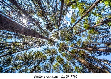 Bottom view of tall pine trees in evergreen forest. Beautiful Pine Forest from below view. Pine trees are high into the sky, Nature background, selective focus