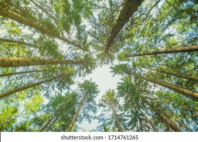 bottom view of tall trees. Pine forest