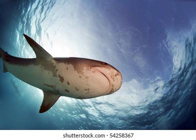 A bottom view of a tiger shark