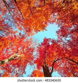 Bottom view of the tops of trees in the autumn forest. Splendid morning scene in the colorful woodland. Artistic style post processed photo.