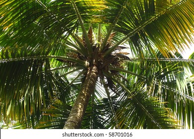 Bottom view of a tropical coconut tree top