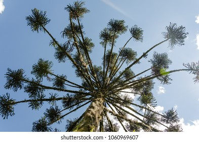 Bottom view of the trunk and branches of the Araucaria tree (Araucaria angustifolia) in Canela, Rio Grande do Sul, Brazil, 2018.