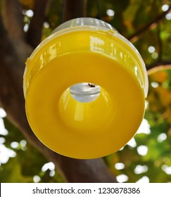 Bottom up view of the yellow base of a pheromone fly trap hanging from a guava tree. A Queensland fruit fly (Bactrocera tryoni) sitting at the mouth of the trap.