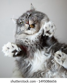 bottom view of a young blue tabby white maine coon cat standing on glass table indoors in front of gray background eating dry food treat looking down