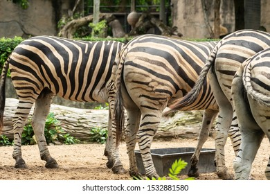 Bottoms and tails of zebra in zoo.