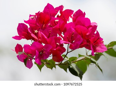 Bougainvillaea. Bougainvillea is an evergreen climbing shrub. Its homeland is South America.