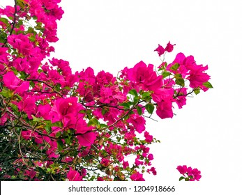 bougainvillaea flower isolated tropical plant.