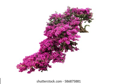 bougainvillaea flower tree isolated tropical plant include clipping path