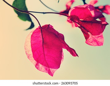Bougainvillea in bloom in the soft summer afternoon sun, retro style, nature scene