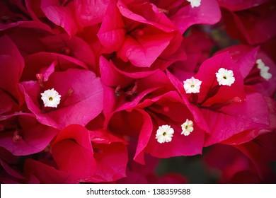 Bougainvillea blossoms red carpet