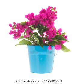 Bougainvillea in blue pot isolated over white background