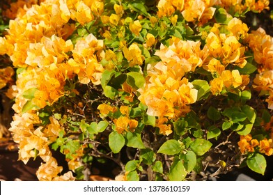 Bougainvillea california gold orange flowers