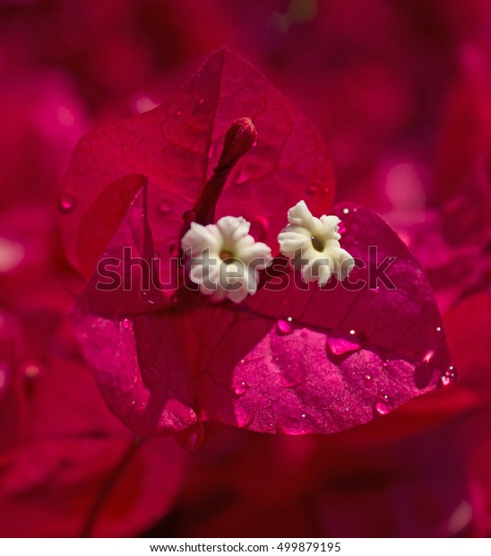 Bougainvillea covered in water drops