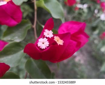 Bougainvillea : Crimson flowers bougainvillea closeup in garden.