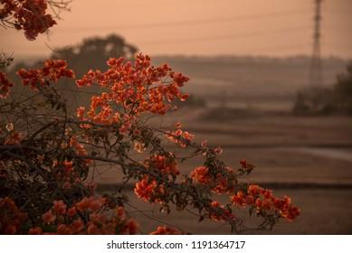 Bougainvillea at dawn of the day. Israel Ashkelon September 2018