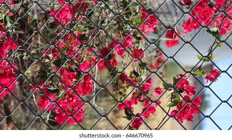 bougainvillea fenced in