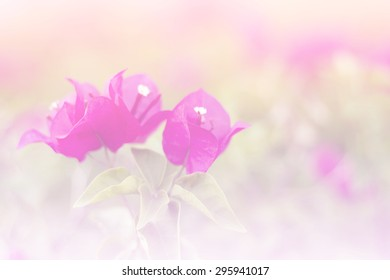 the  bougainvillea flower a color adjustment in soft style for background.;style image blur.