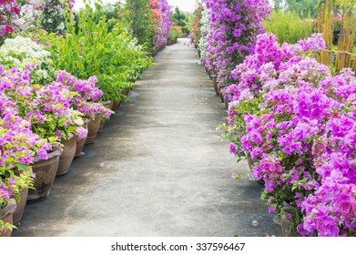 Bougainvillea flower in garden, fresh flowers, beautiful flowers.