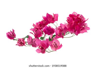 Bougainvillea flower, Paperflower, Pink Bougainvillea flower isolated on white background, with clipping path