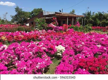 Bougainvillea flower plantation with a old house in Ben Tre, Vietnam. Ben Tre Province provides some of the most beautiful scenery in the Mekong delta.