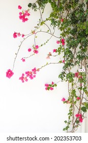 Bougainvillea flower red blossoms on a white wall