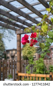 bougainvillea flowers against a wooden pergola background