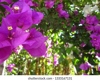 Bougainvillea flowers with banana trees in the background