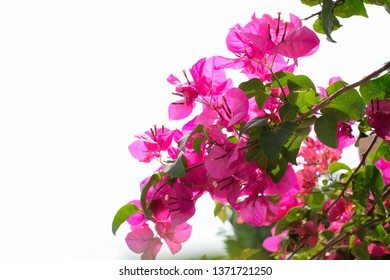 Bougainvillea flowers bloom in a white background.