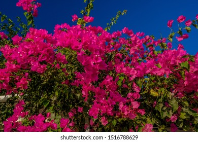Bougainvillea flowers in Bodrum city of Turkey.