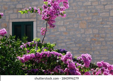 Bougainvillea flowers in the garden and traditional Mediterranean house. Selective focus.